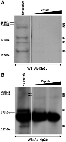 Identification of a Z-band associated protein complex