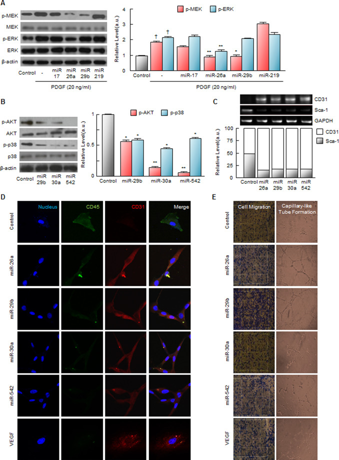The Microrna Dependent Cell Fate Of Multipotent Stromal