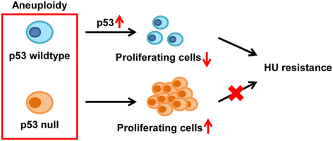 P53 Mediates Hydroxyurea Resistance In Aneuploid Cells Of Colon Cancer Sciencedirect