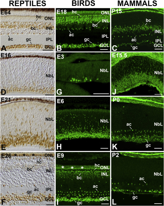 Expression and function of the LIM-homeodomain transcription factor