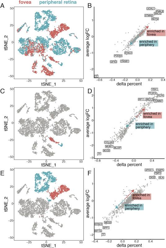 Molecular characterization of foveal versus peripheral human