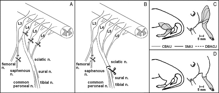Spontaneous pain following spinal nerve injury in mice