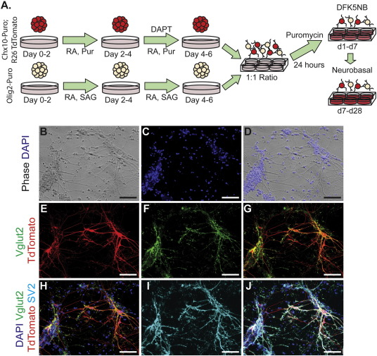 Generation of highly enriched V2a interneurons from mouse
