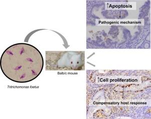 tritrichomonas in mice