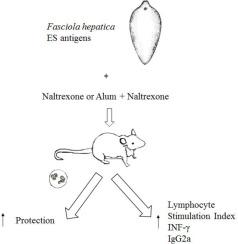 characteristics of fasciola hepatica