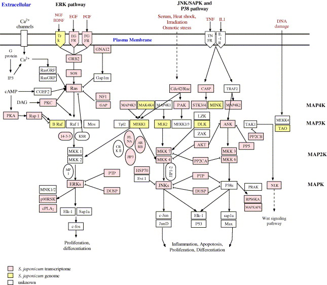 Reconstruction and in silico analysis of the MAPK signaling
