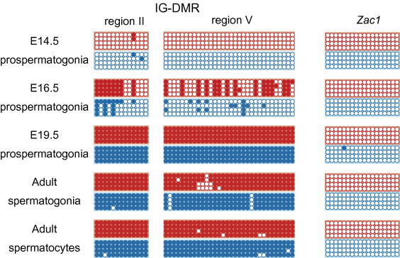 DNA methylation imprints on the IG-DMR of the Dlk1–Gtl2