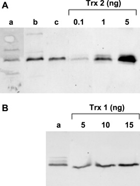 Thioredoxin 2 from Escherichia coli is not involved in vivo in the