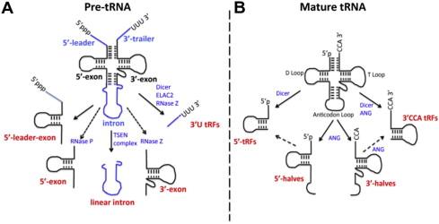 trna fragments in human health and disease sciencedirect