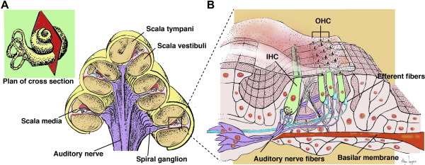 Cochlear Hair Cells The Sound Sensing Machines Sciencedirect