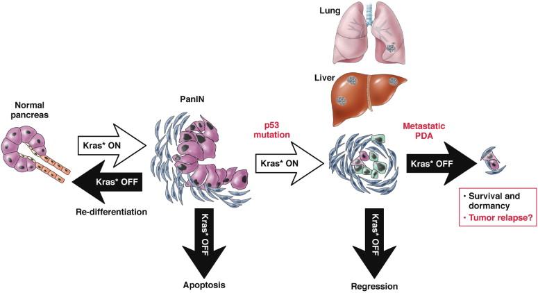hasnyálmirigyrák xenograft egér modell mandibuláris rák tünetei