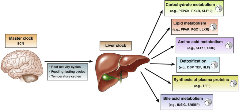 Circadian Clock Control of Liver Metabolic Functions - ScienceDirect
