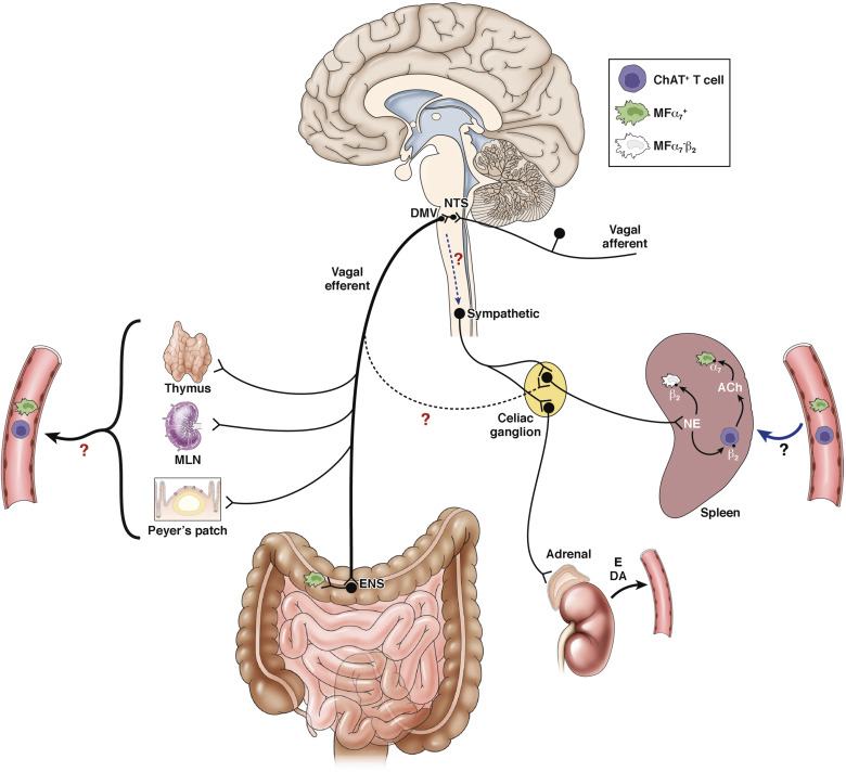 The Vagus Nerve in Appetite Regulation, Mood, and Intestinal ...