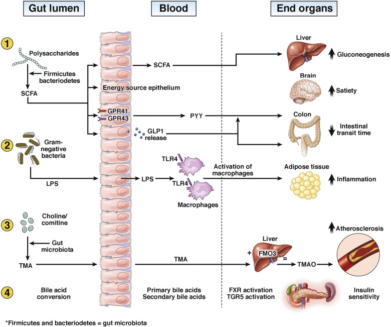 Role of the Gut Microbiome in the Pathogenesis of Obesity and