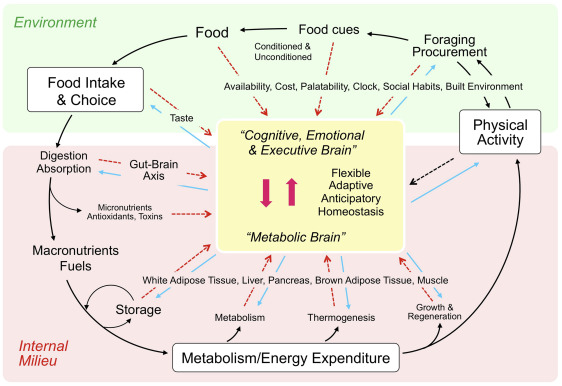 Blaming The Brain For Obesity Integration Of Hedonic And