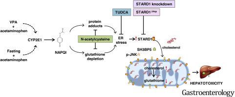 Endoplasmic Reticulum Stress-Induced Upregulation of STARD1