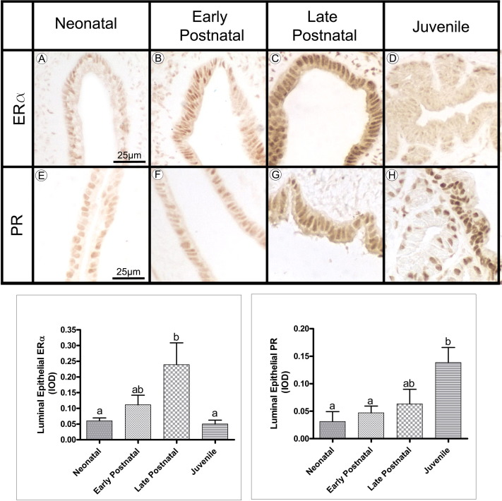 postnatal development and histofunctional differentiation of the