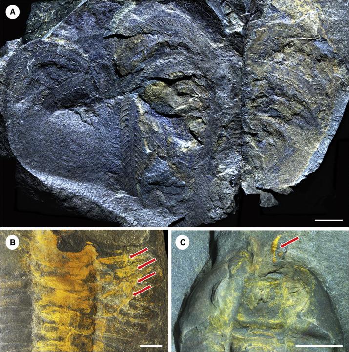 Un fossile découvert au Maroc. / Ph. DR