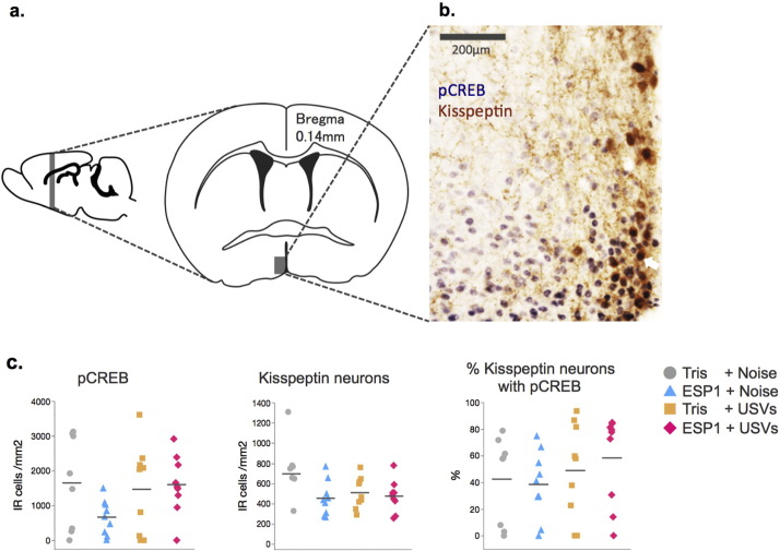 Male mice ultrasonic vocalizations enhance female sexual approach