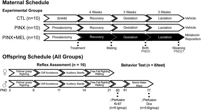 The absence of maternal pineal melatonin rhythm during
