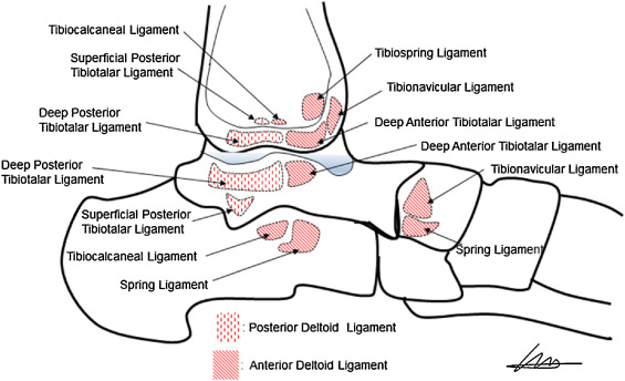 The contribution of anterior deltoid ligament to ankle stability in ...