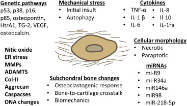 Modulation of cartilage's response to injury: Can chondrocyte