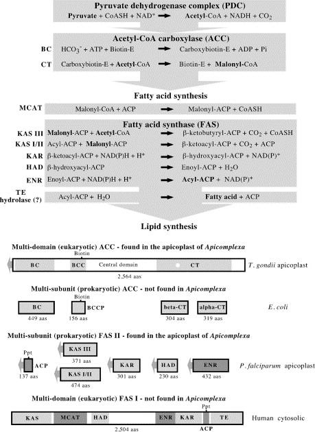 Apicoplast fatty acid biosynthesis as a target for medical