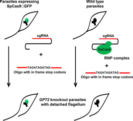 Assessment of two CRISPR-Cas9 genome editing protocols for rapid