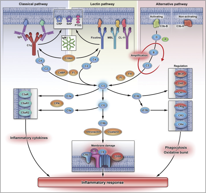 The Complement System Concept Map.The Complement System And Toll Like Receptors As Integrated Players