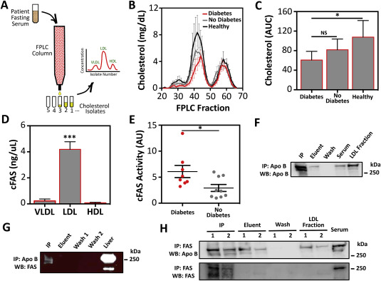 Circulating serum fatty acid synthase is elevated in