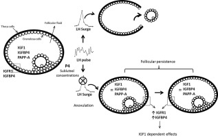 Role Of Components The Insulin Like Growth Factor System In