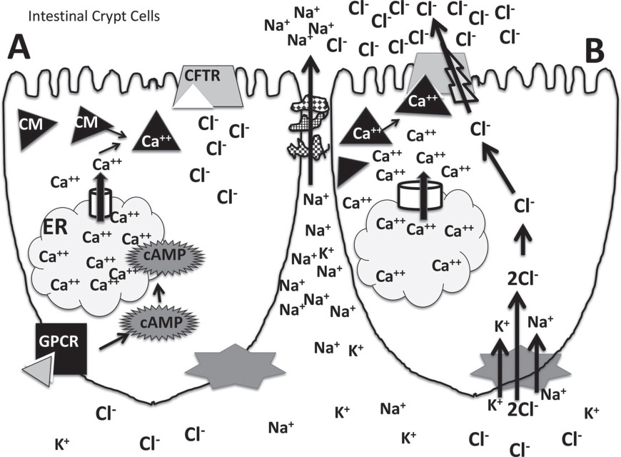 Invited review: Mineral absorption mechanisms, mineral