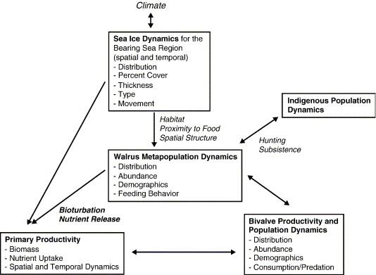 Pacific Walrus Benthic Bioturbator Of Beringia Sciencedirect
