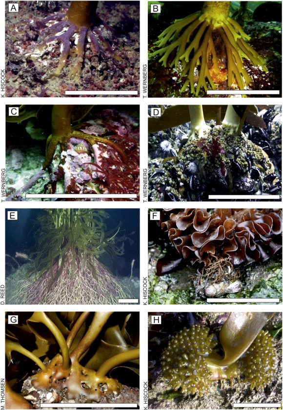 The Role Of Kelp Species As Biogenic Habitat Formers In Coastal