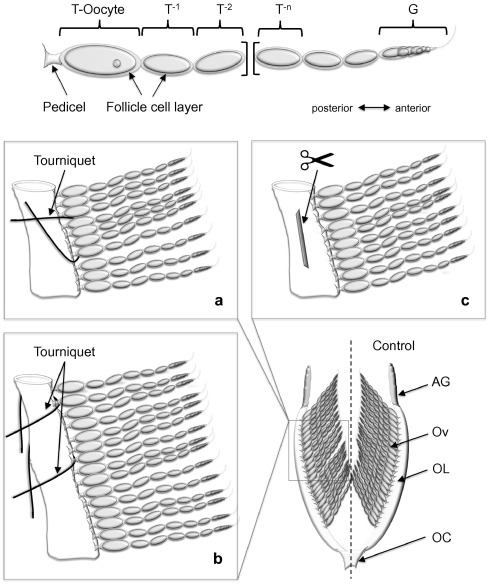 Sequential oogenesis is controlled by an oviduct factor in the ...
