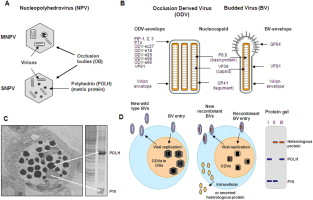 Opportunities and challenges for the baculovirus expression