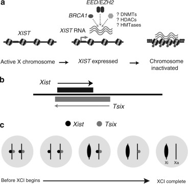 X-Chromosome Inactivation and Skin Disease - ScienceDirect