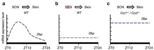How the Skin Can Tell Time - ScienceDirect