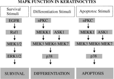 Summary of the role of MAPK cascades in regulating keratinocyte function.  In general, the ERK1/2 cascade promotes survival/proliferation, whereas the  p38 ...