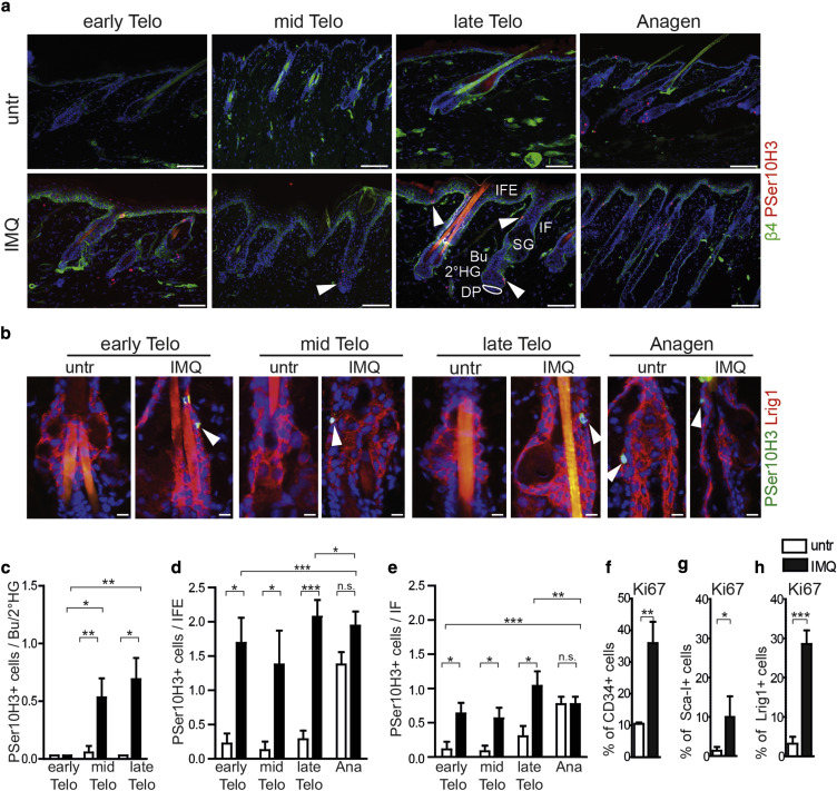 Effects Of Imiquimod On Hair Follicle Stem Cells And Hair Cycle