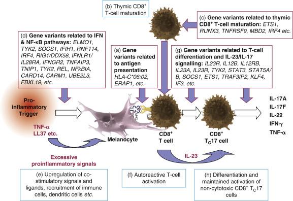 Melanocytes: Target Cells of an HLA-C*06:02–Restricted