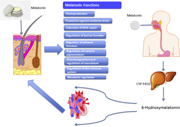 Melatonin: A Cutaneous Perspective on its Production, Metabolism
