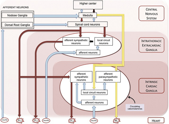 A Brain Within The Heart A Review On The Intracardiac Nervous