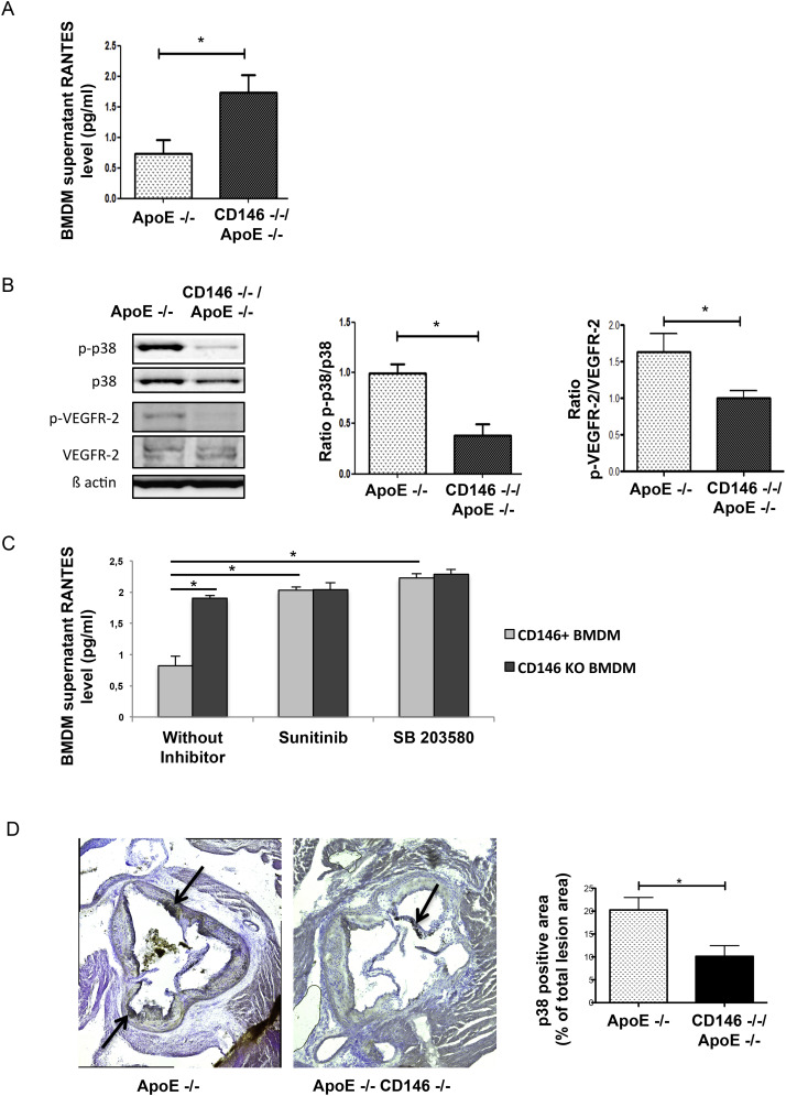 CD146 deficiency promotes plaque formation in a mouse model