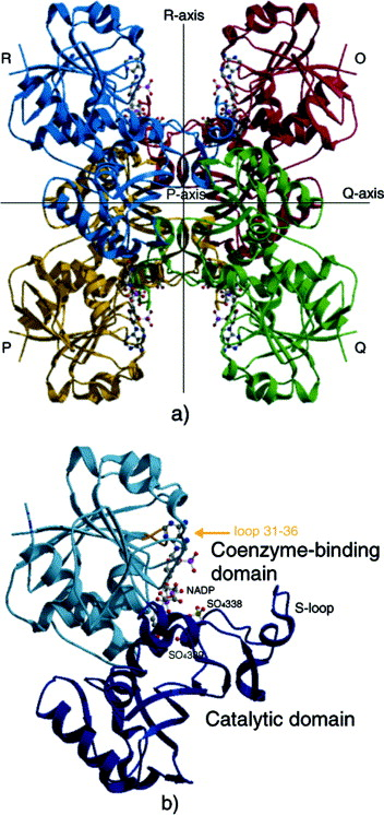 Coenzyme Site-directed Mutants of Photosynthetic A4-GAPDH