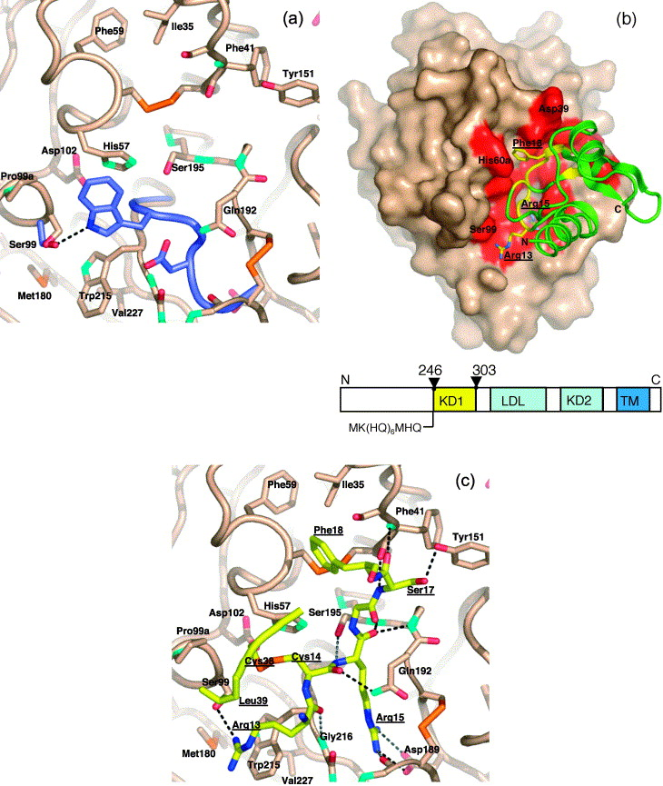 Conformational Lability in Serine Protease Active Sites