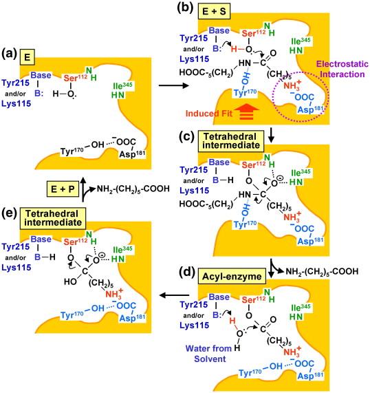 Encodes Nylon Oligomer Degradation