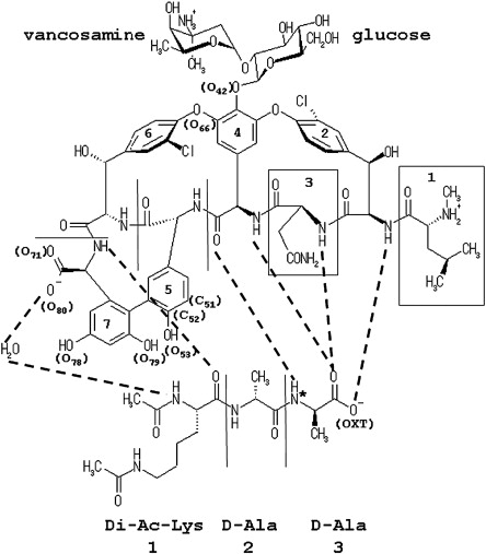 Crystal Structures Of The Complexes Between Vancomycin And Cell Wall