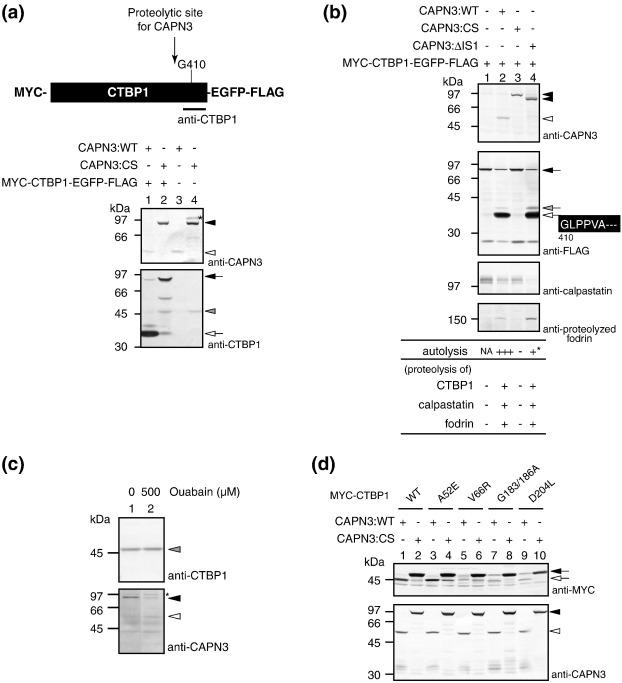 pleiad simc1 c5orf25 a novel autolysis regulator for a skeletal