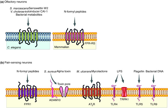 Bacterial Signaling to the Nervous System through Toxins and
